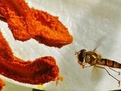 Hoverflys