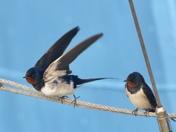 Swallows - so precious