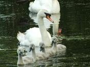 swan conga!