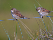 Two Young Whitethroats