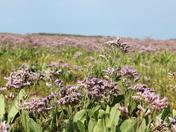 Sea Lavender