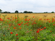 POPPIES AND RIPENING CORN