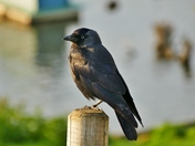 JACKDAW AT BLAKENEY