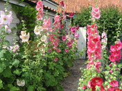 Beautiful Cottage Garden Hollyhocks
