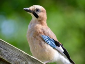 Jay on the bird table.