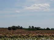 Field of Roses
