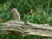 Little Owl watches me from distance.