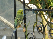 Budgie in our Garden