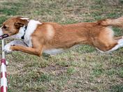 Agile Dogs