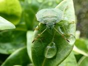 Palomena Prasina Green Shieldbug