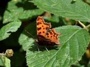 Speckled Wood -  Comma - Gate Keeper Butterfly's
