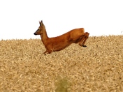 Stag leaps and bounds through the wheat crop.