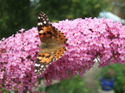 Painted Lady arrives in Hornchurch