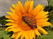 Butterfly on a sunflower