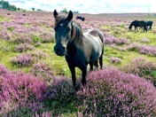 Ponies and pretty heather