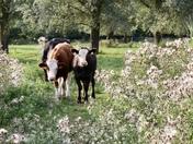Cows at Redgrave Fen
