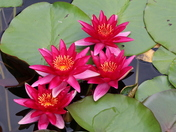 Beautiful Waterlilies