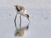 'Learning to look after myself'  Young avocet
