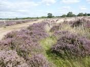Shades of Purple on Cavenham Heath.