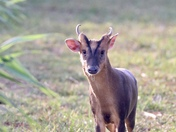 Muntjacs are such pretty little deer