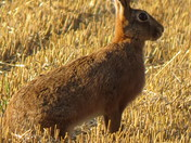 Hare in the evening sun.