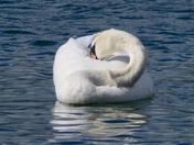 The beautiful swan.