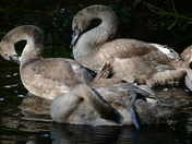 Pulls Ferry and swan family