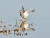 redshank ; nwt cley marsh.