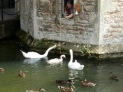 Parent swans teaching cygnet to ring bell for food
