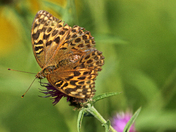 Fritillary butterfly in the late summer sunshine.