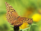 Fritillary butterfy in the late summer sunshine.