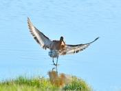 blacktailed godwit ; nwt cley marsh.