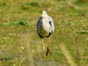heron ; nwt cley marsh,