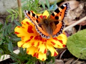 Project 52...Butterfly on a bloom