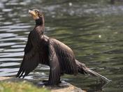 cormorant wensum park