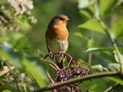 My Little Friendly Robin