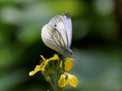 Weird fly and Lovely White Butterfly