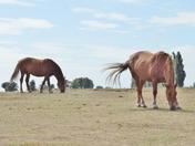 Suffolk Punch Horses at Hollesley