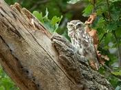 A Little Owl.