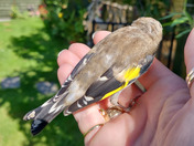 Rescued goldfinch