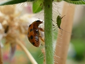 Ladybird stalks an Aphid for lunch.