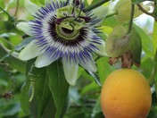 Passion Fruit with flower