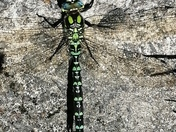 Insects - Dragonfly