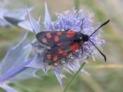 Insects - Six Spot Burnet Moth