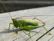 Insect - Green Cricket