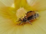 Insects - Drunken Bee