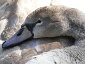 CYGNET TRYING TO SNOOZE