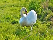 swan preening ; nwt cley marsh.