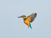 Kingfisher at Strumpshaw Fen