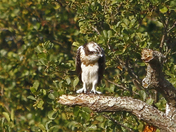 Osprey Norfolk Broads